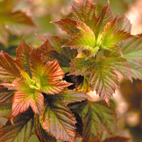 Maple like foliage of Redwing viburnum emerging in shades of a bright red with lime green center to the leaf