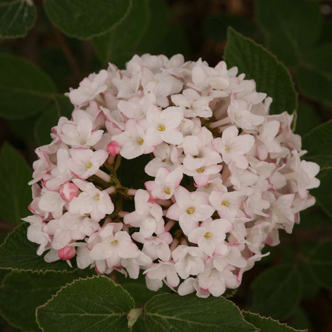 Closeup of the pink and white flowers of Spice Baby Koreanspice viburnum