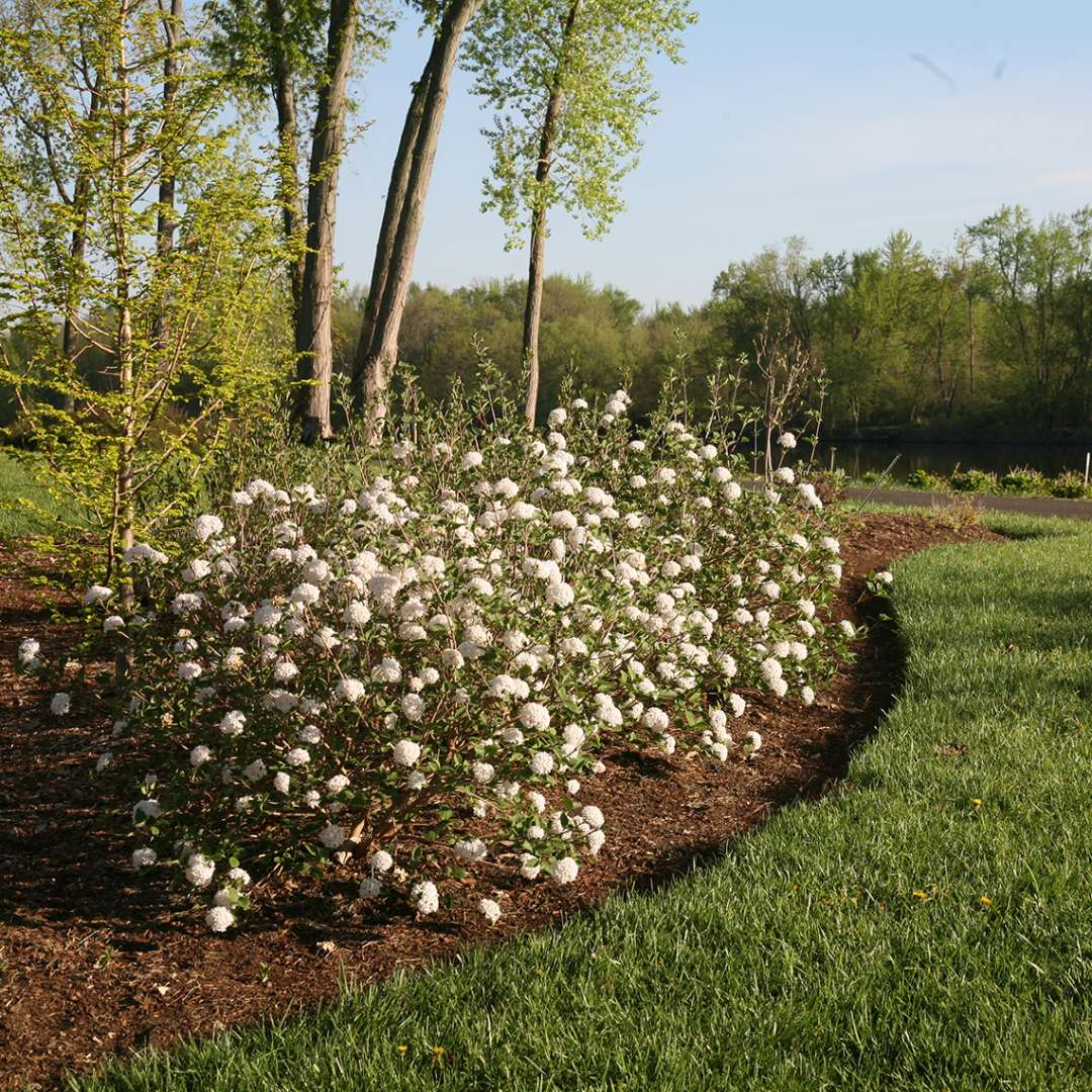 A hedge of Spice Baby dwarf Koreanspice viburnum in a landscape