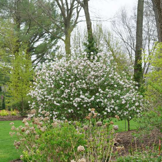 A beautiful floriferous specimen of Spice Girl Koreanspice viburnum in full bloom in spring