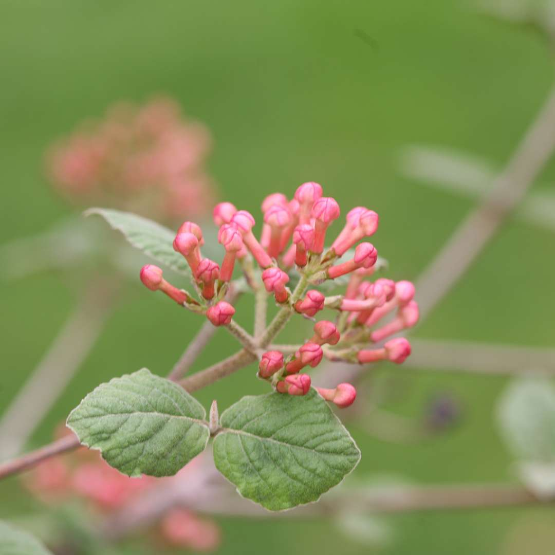 The deep pink flower buds of Spice Girl Koreanspice viburnum