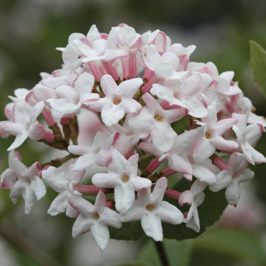 Closeup of the white and pink flowers of Spice Girl Koreanspice viburnum