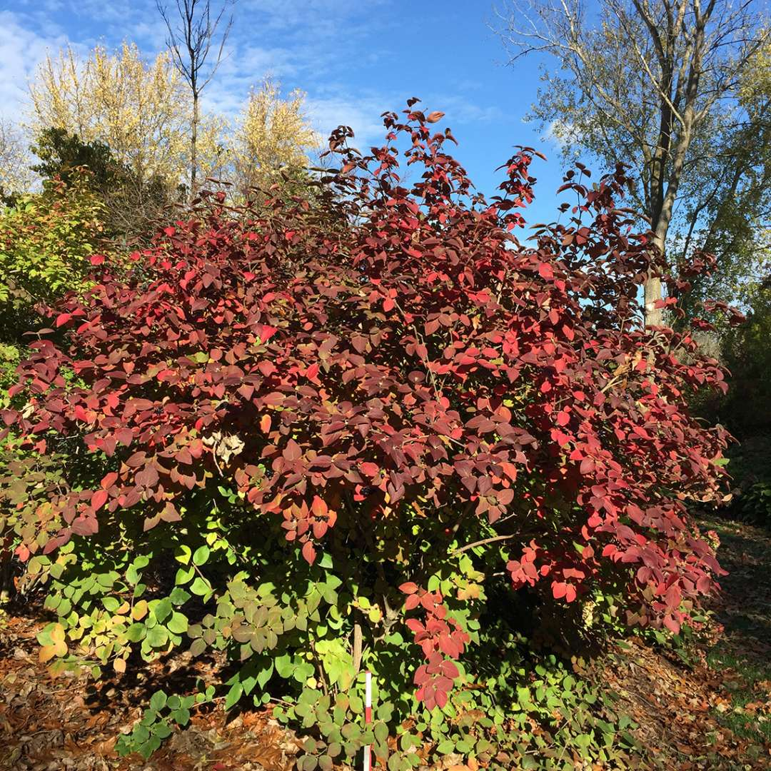 Spice Girl Koreanspice viburnum showing its bright red fall foliage against a brilliant blue autumn sky