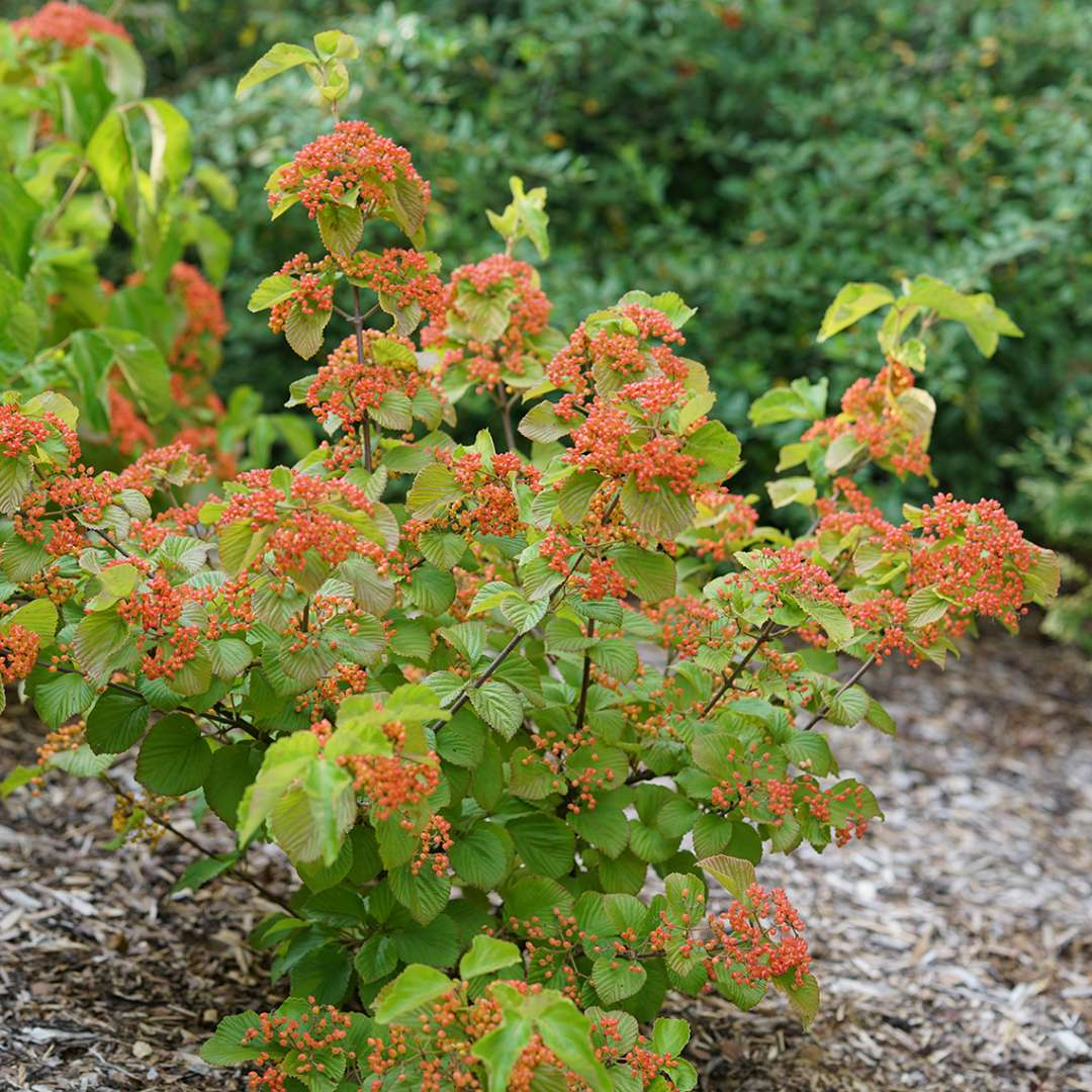 A young specimen of Tandoori Orange viburnum showing its large handsome foliage and heavy crop of orange fruit