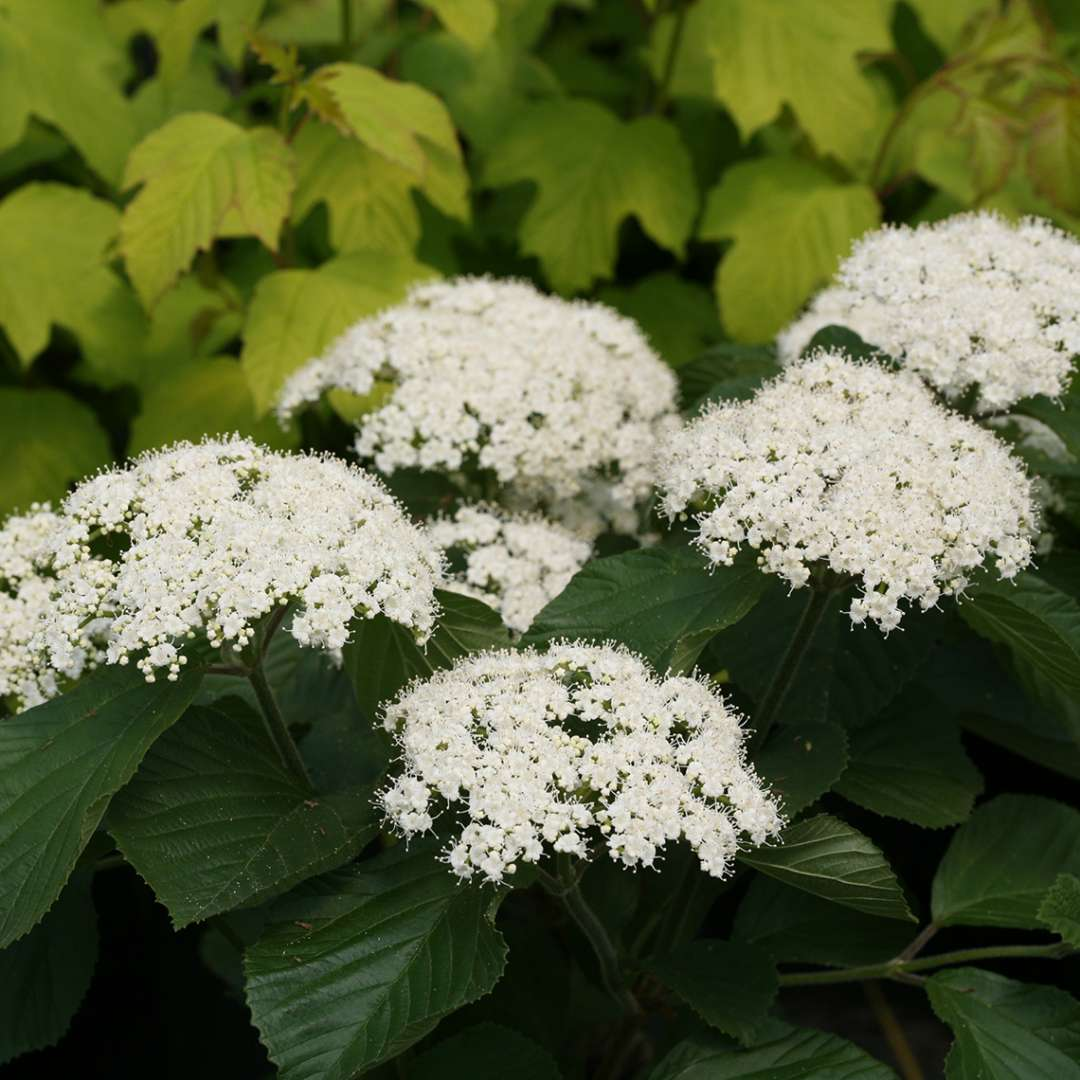The white flowers of Tandoori Orange viburnum