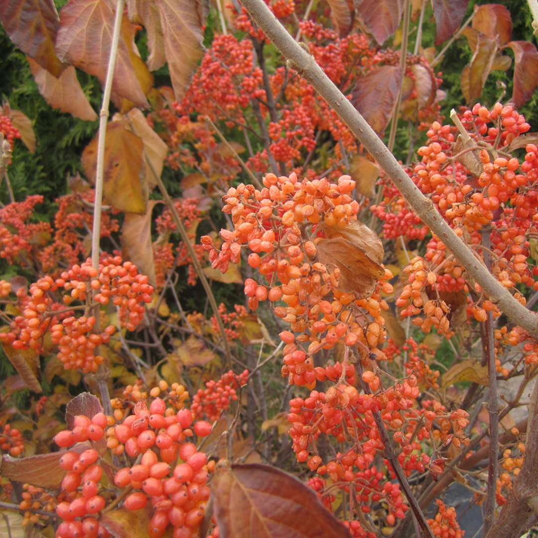 The orange fruit on Tandoori Orange viburnum with the foliage changing color in autumn