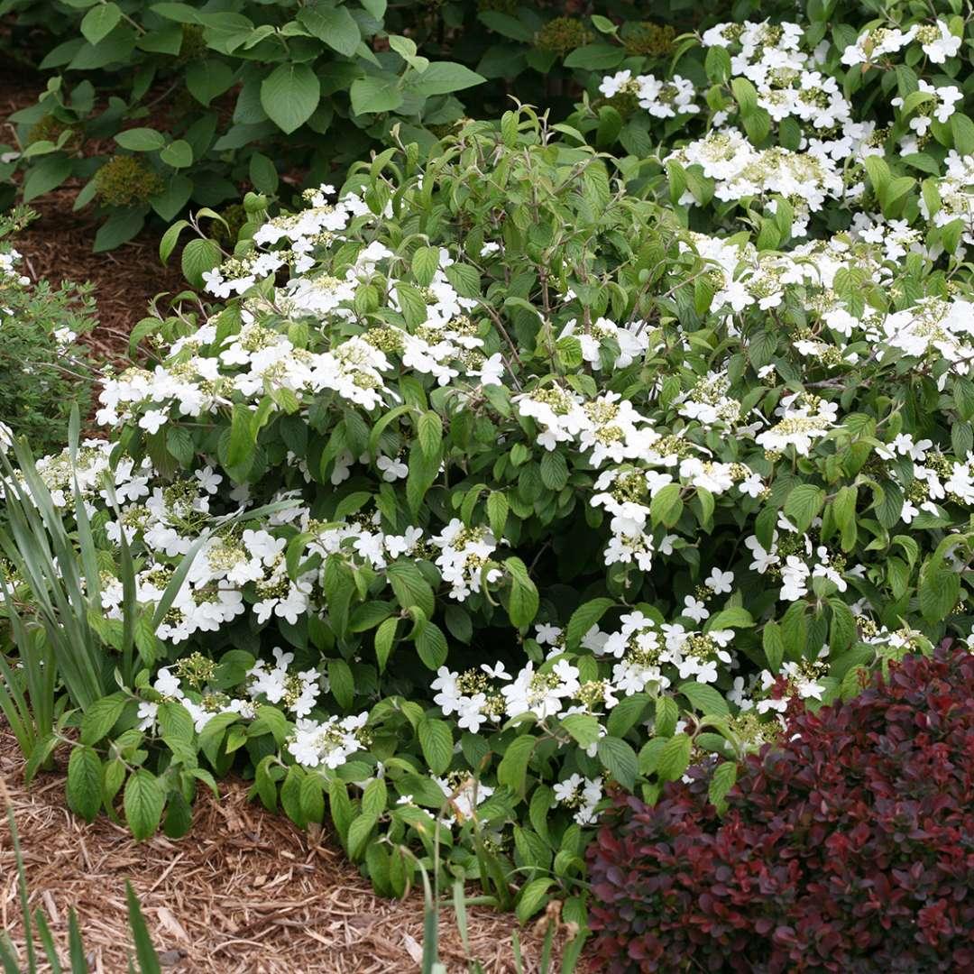 Wabi Sabi Viburnum Spring Meadow Wholesale Liners Spring