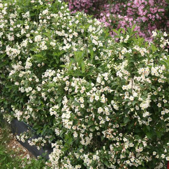 Czechmark Sunny Side Up weigela covered in white flowers in spring