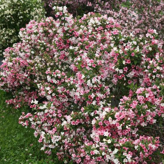 Czechmark Trilogy weigela in full bloom in the lansdcape displaying its tricolored flowers