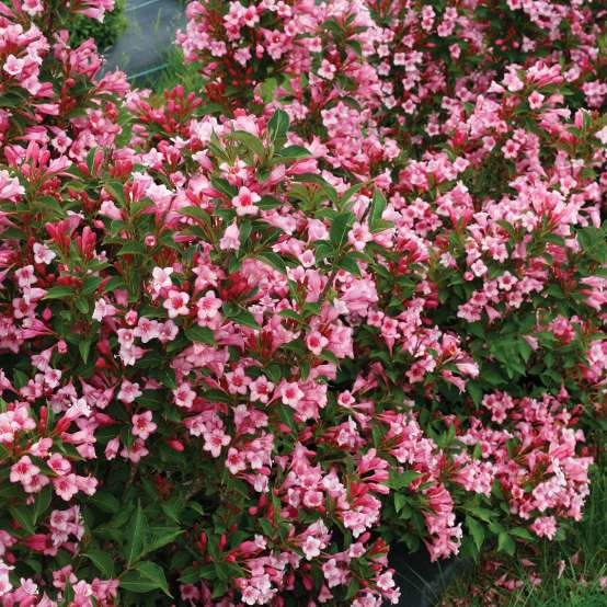 Czechmark Twopink weigela in full bloom in the landscape with an enormous quantity of flowers