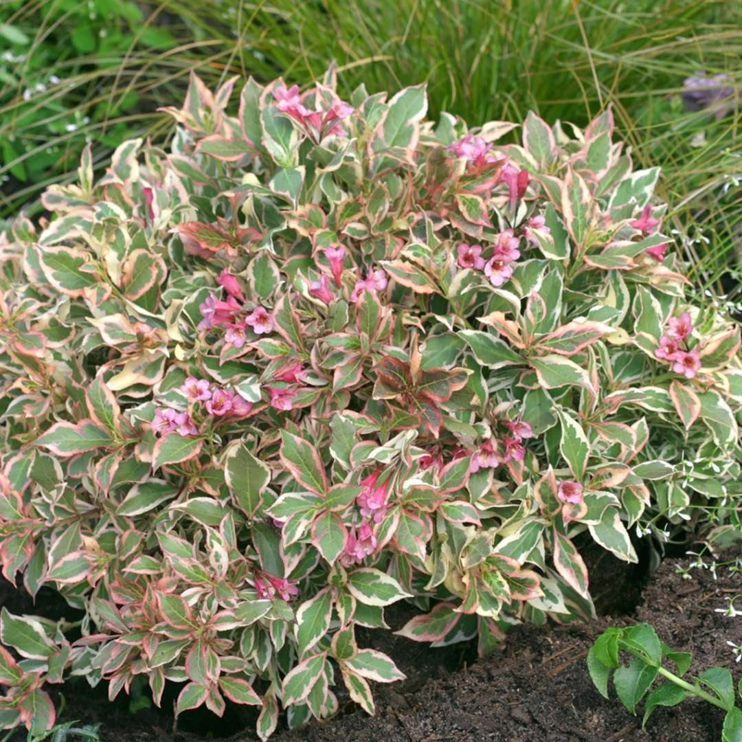 My Monet Weigela Spring Meadow Wholesale Liners Spring Meadow