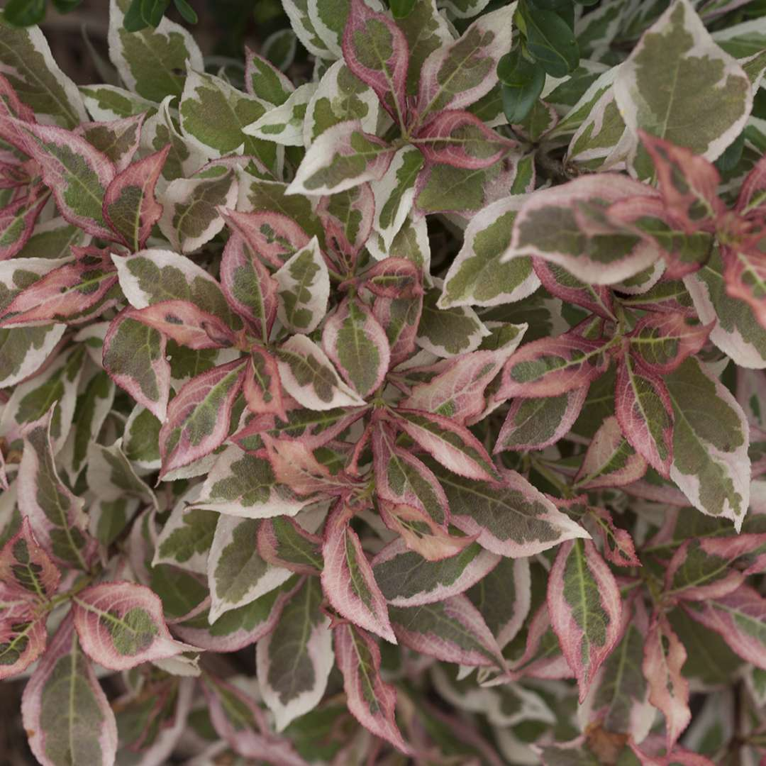 Closeup of the variegated foliage of My Monet weigela which emerges pink and takes on pink tones in cool weather
