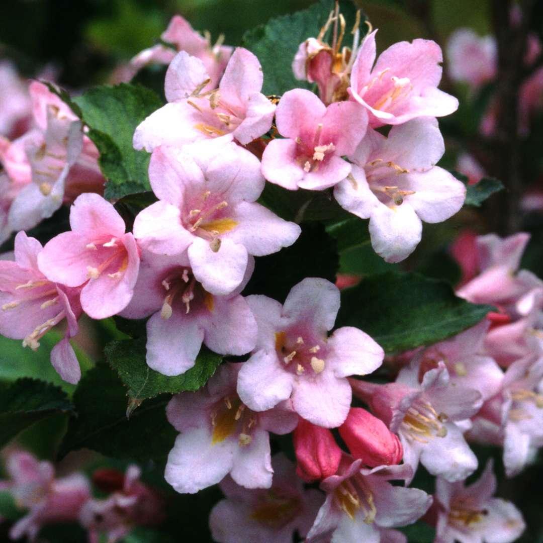 Polka weigela spring meadow wholesale liners spring meadow nursery the light pink flowers of polka weigela mightylinksfo