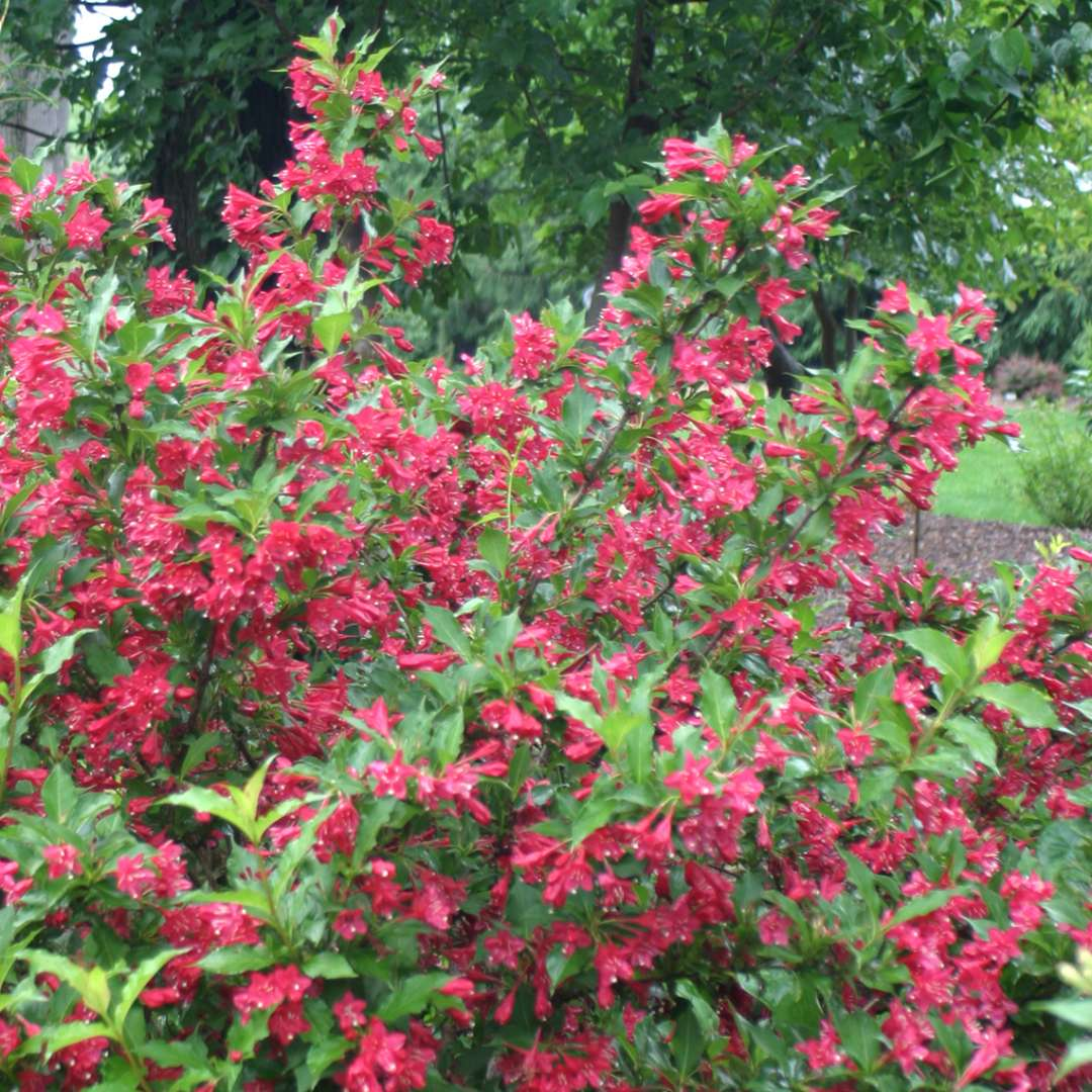 Red Prince Weigela | Spring Meadow - wholesale liners ...