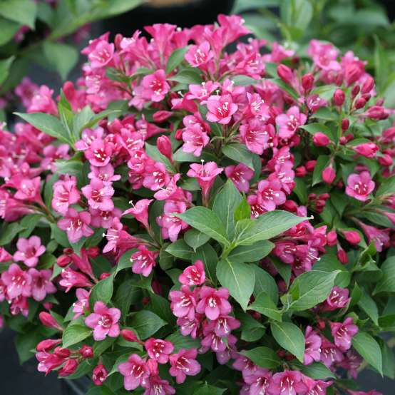 Snippet Dark Pink weigela is a dwarf plant with dark pink blooms