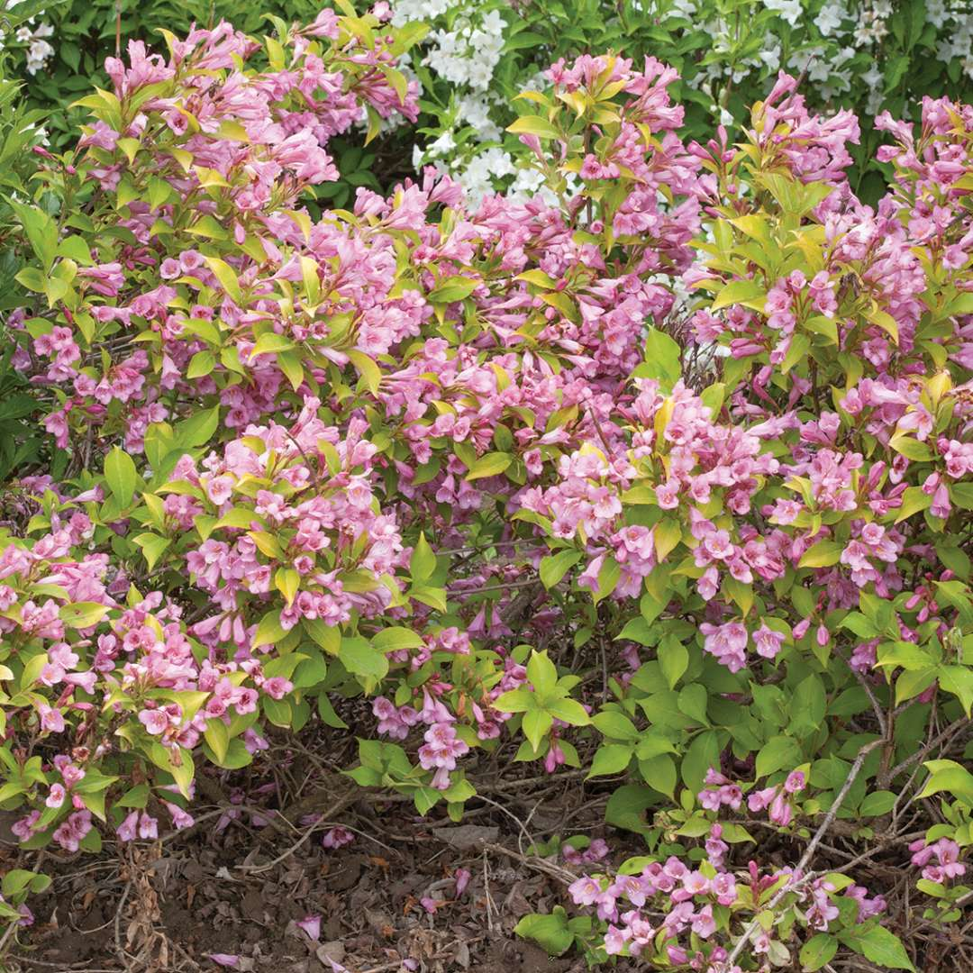 Snippet Lime weigela is a dwarf plant with lime green foliage and pink flowers