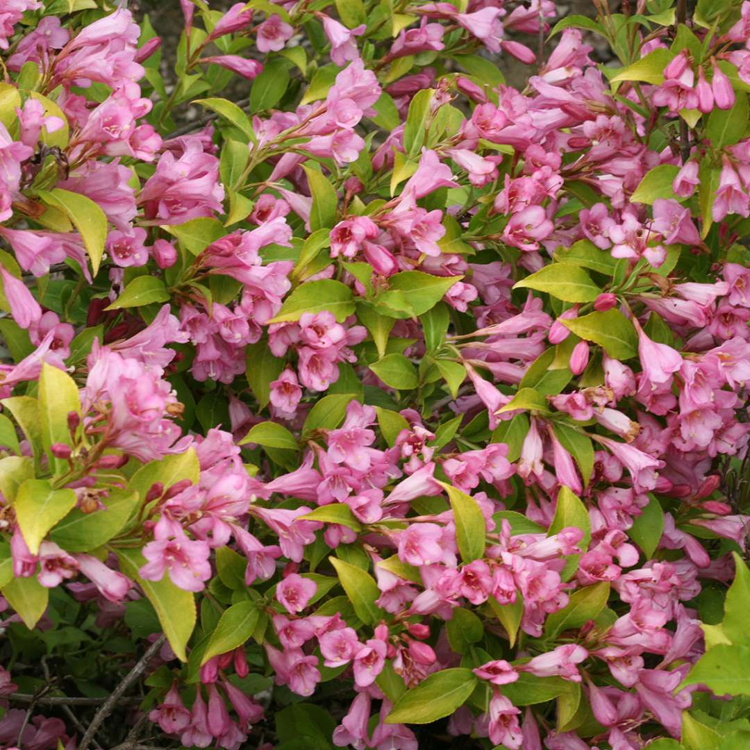 Closeup of the lime green foliage contrasting with the pink blooms of Snippet Lime weigela