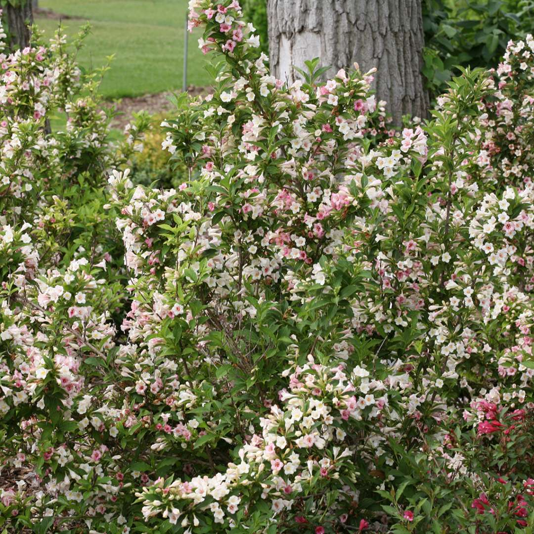 Sonic Bloom Pearl weigela blooming in a landscape