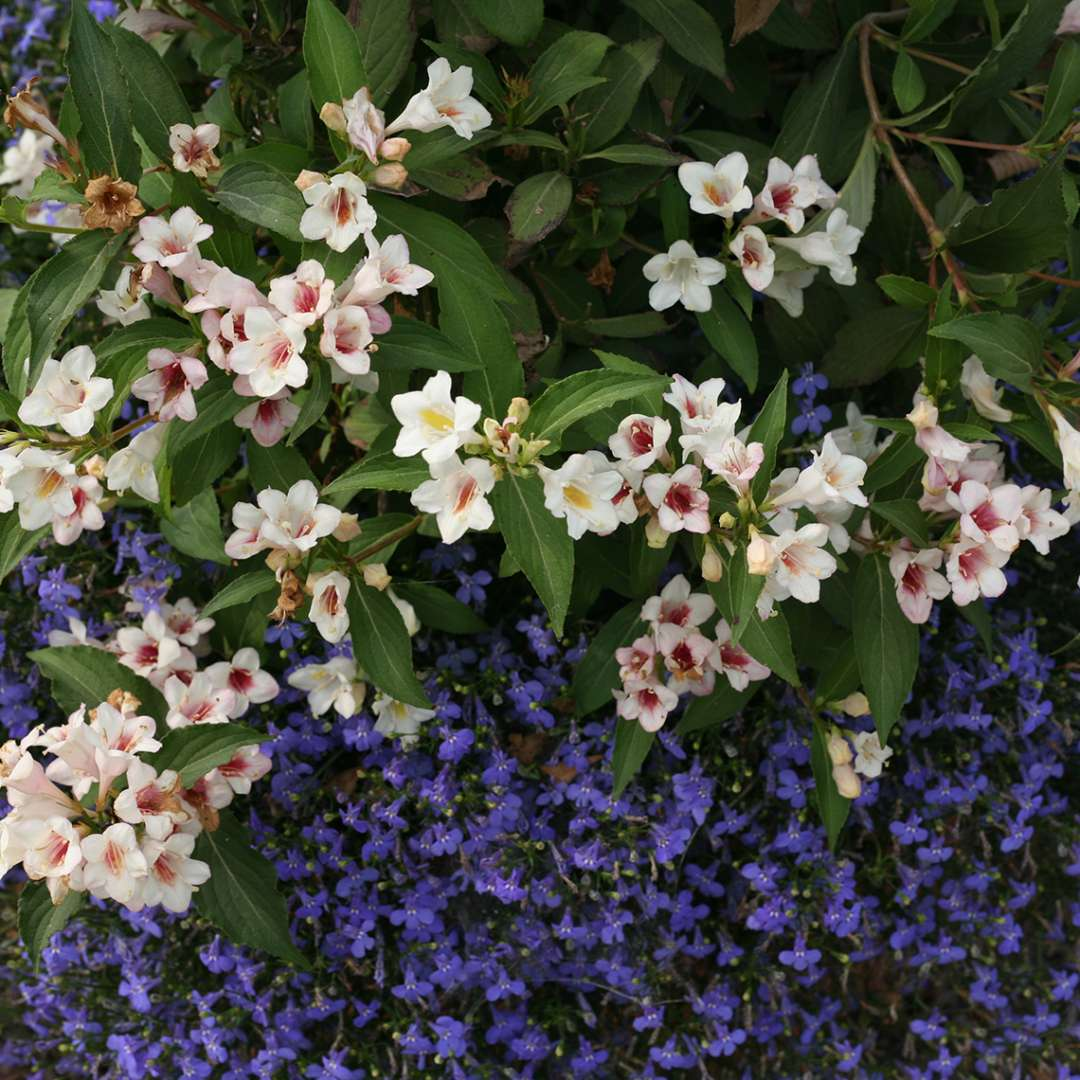 Detail of the flowers of Sonic Bloom Pearl weigela which are white yellow and pink against a planting of bright blue lobelia