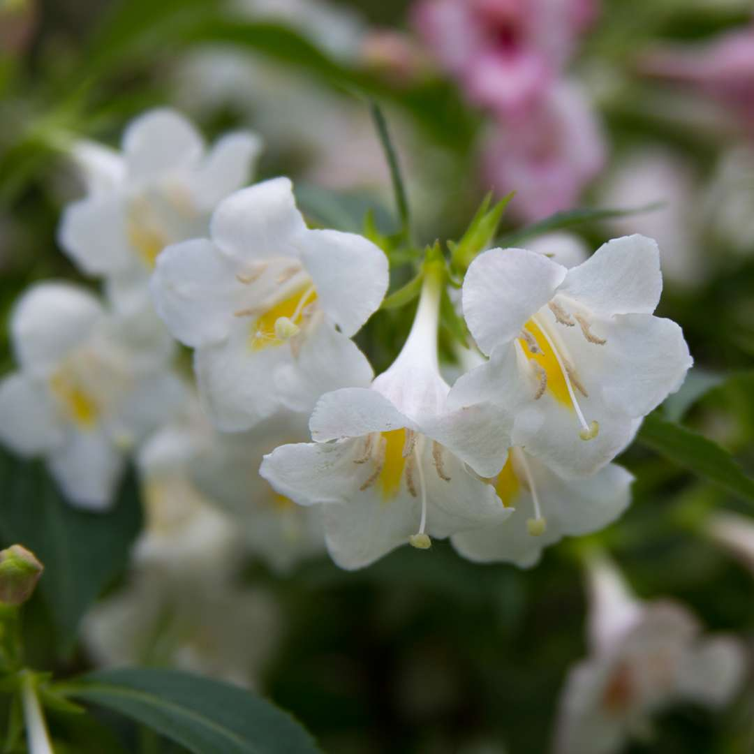 Closeup of the white and yellow flowers of Sonic Bloom Pearl weigela