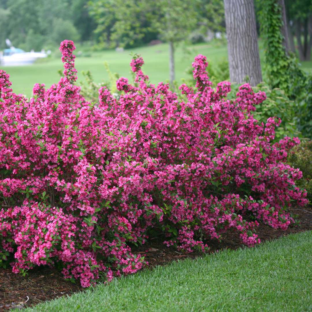 Sonic Bloom Pink weigela in full bloom in the landscape