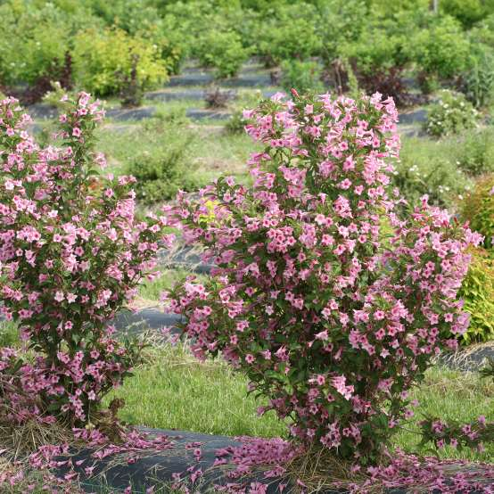 Two Sonic Bloom Pure Pink weigela blooming with many fallen pink flowers below the plants