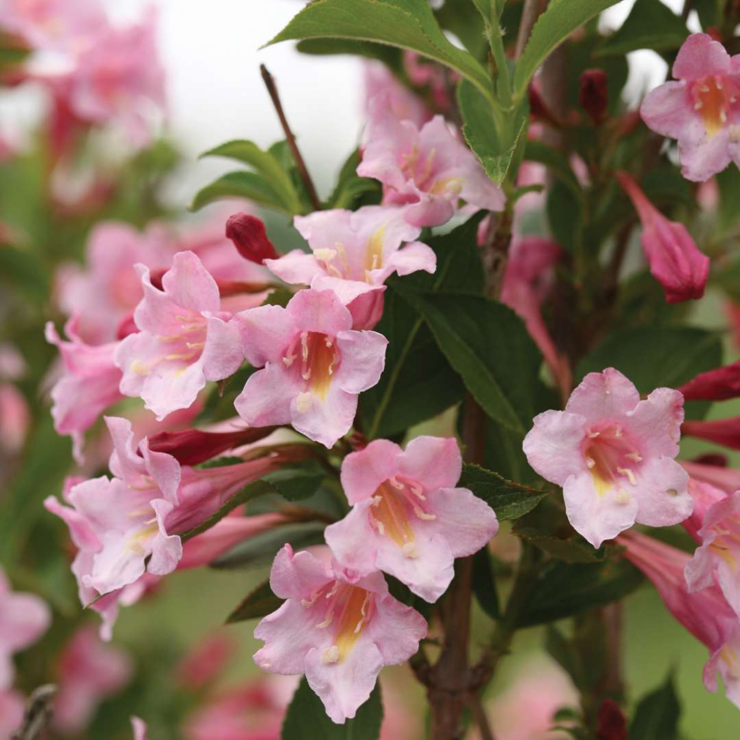 Sonic Bloom Pure Pink Weigela Spring Meadow Wholesale Liners