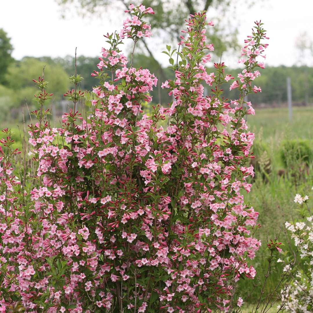 The branches of Sonic Bloom Pure Pink weigela blooming which highlight the upright habit of this plant