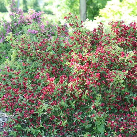 Sonic Bloom Red weigela blooming in the landscape