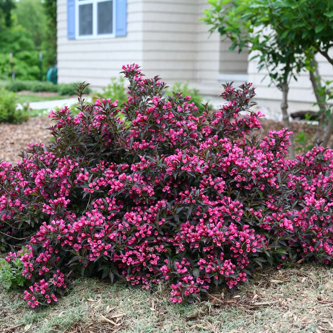 Spilled Wine weigela in full bloom in a landscape with a yellow house in the background