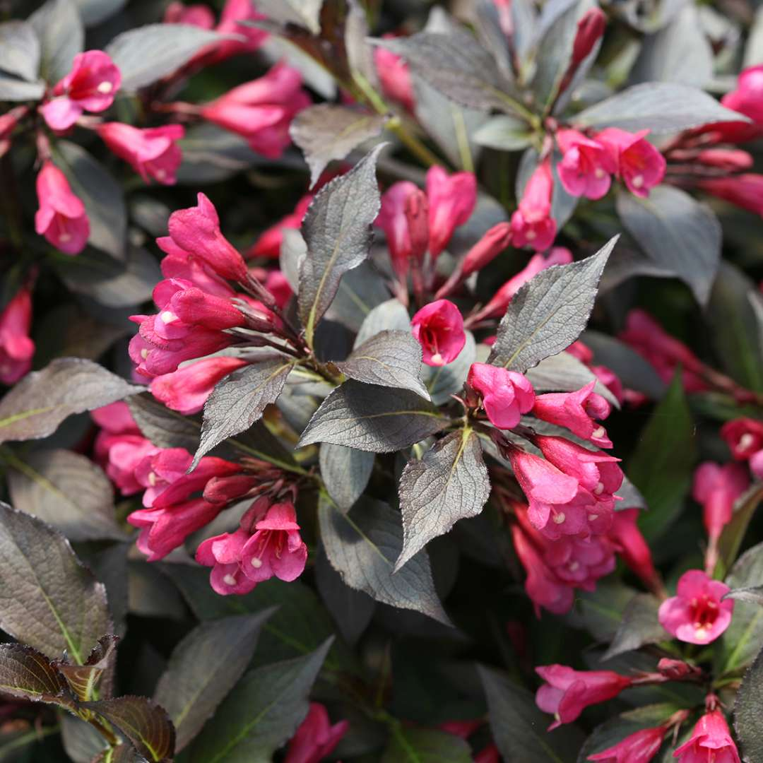 Closeup of the rose pink flowers and dark purple foliage of Spilled Wine weigela
