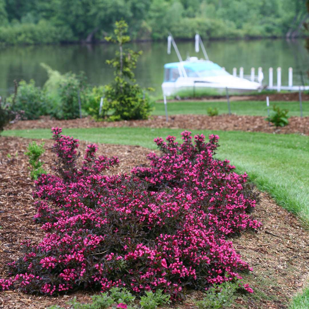 The full low spreading habit of Spilled Wine weigela experienced against a backdrop of mulch with the river and a boat in the distance