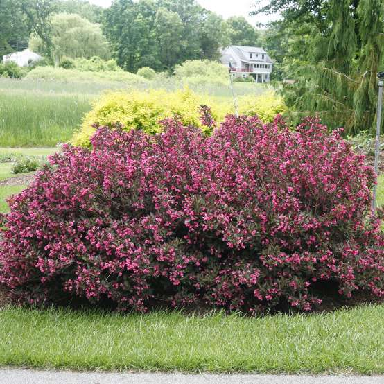 A large specimen of purple foliage Wine & Roses weigela covered in pink flowers in a landscape