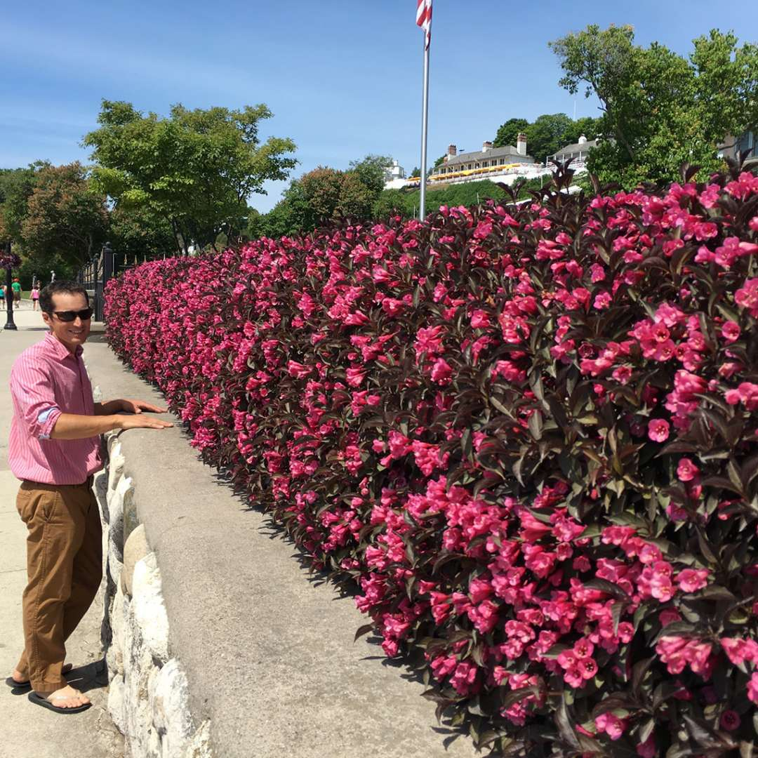 A man in a pink shirt stands in front of a neatly trimmed hedge of Wine & Roses weigela in full bloom