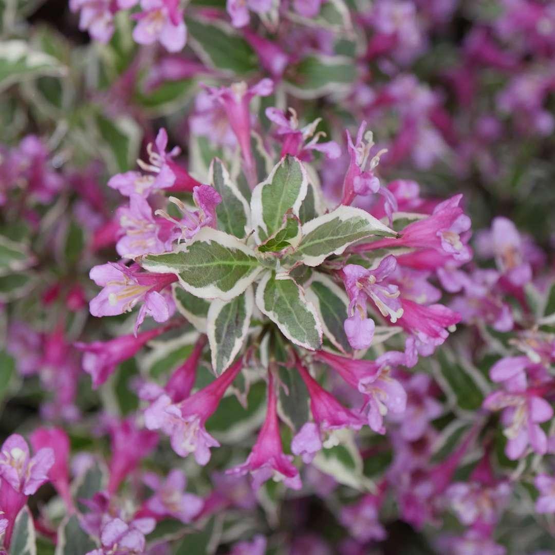 My Monet Purple Effect Weigela Spring Meadow Wholesale Liners