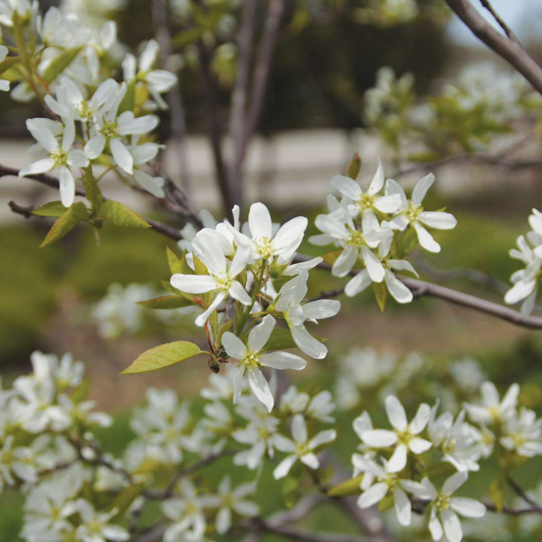 Spring Glory serviceberry is a small native tree with white spring flowers.