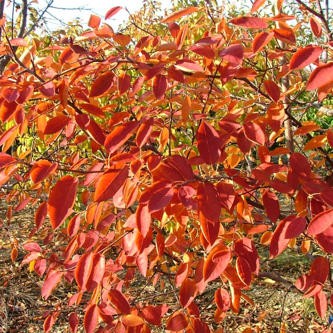 Spring Glory serviceberry is a small native tree with glowing orange fall color.