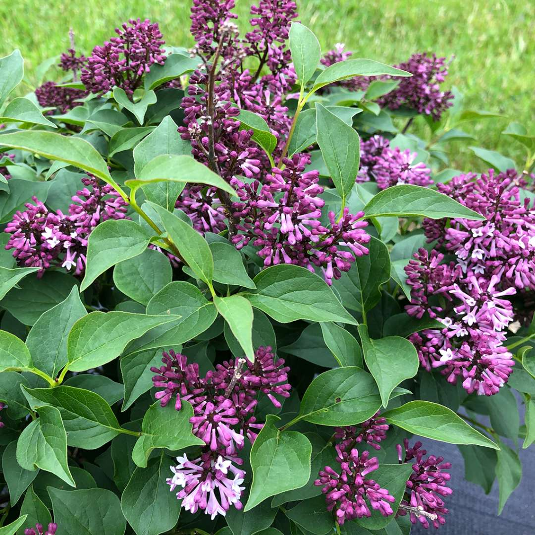 The rich purple color of Baby Kim lilac flowers. They are purple