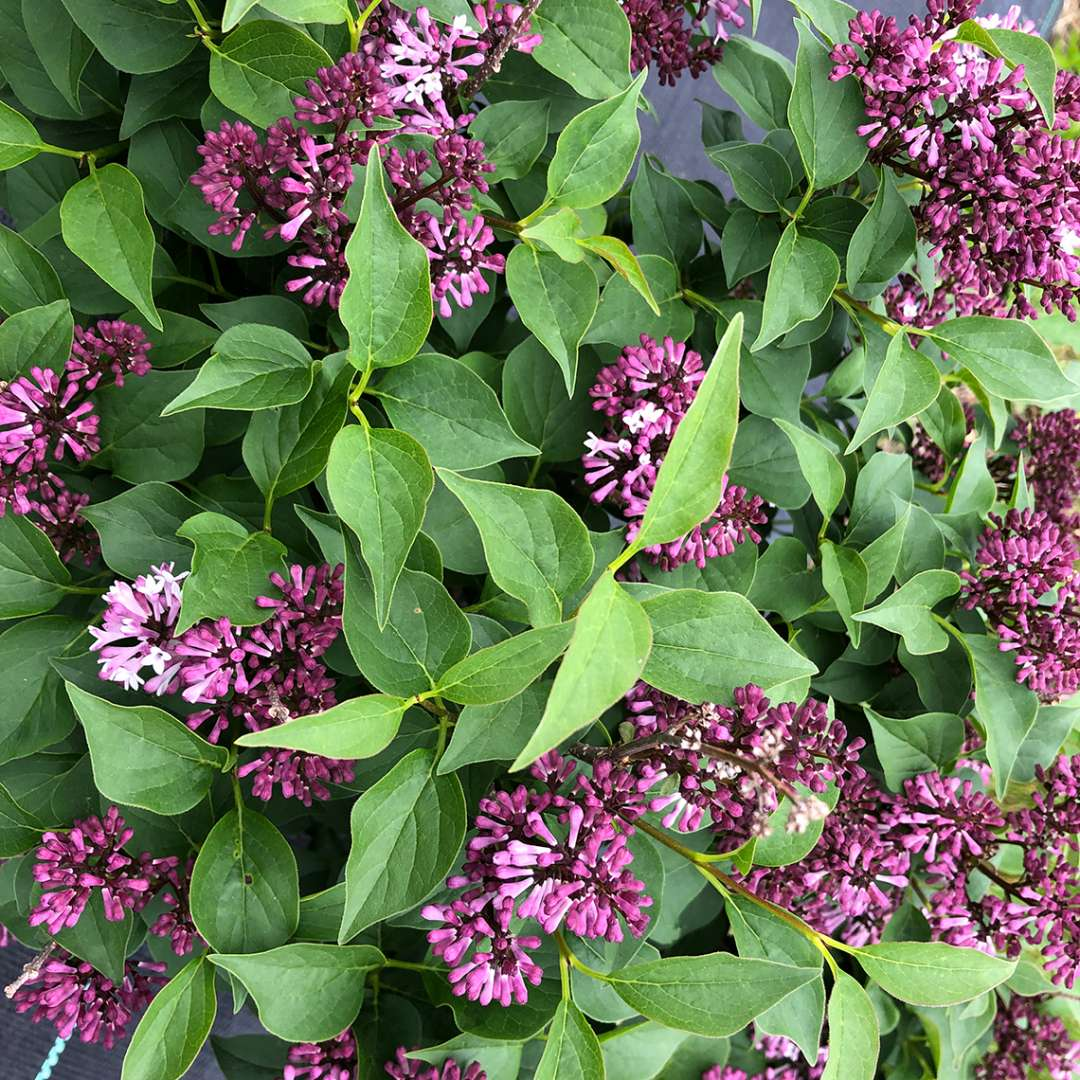Baby Kim lilac in bloom with purple flowers and clean green foliage
