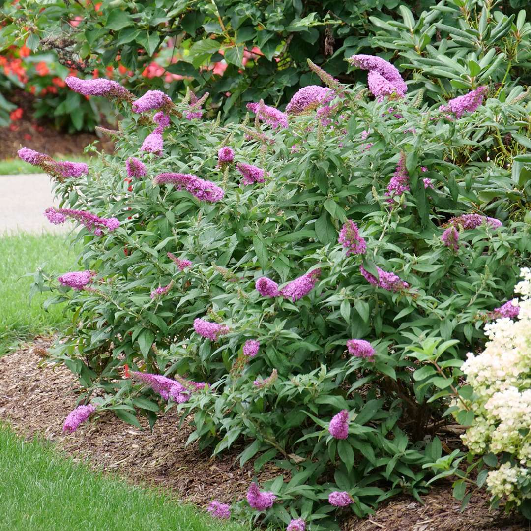Pugster Pinker butterfly bush has large deep pink spire like blooms.