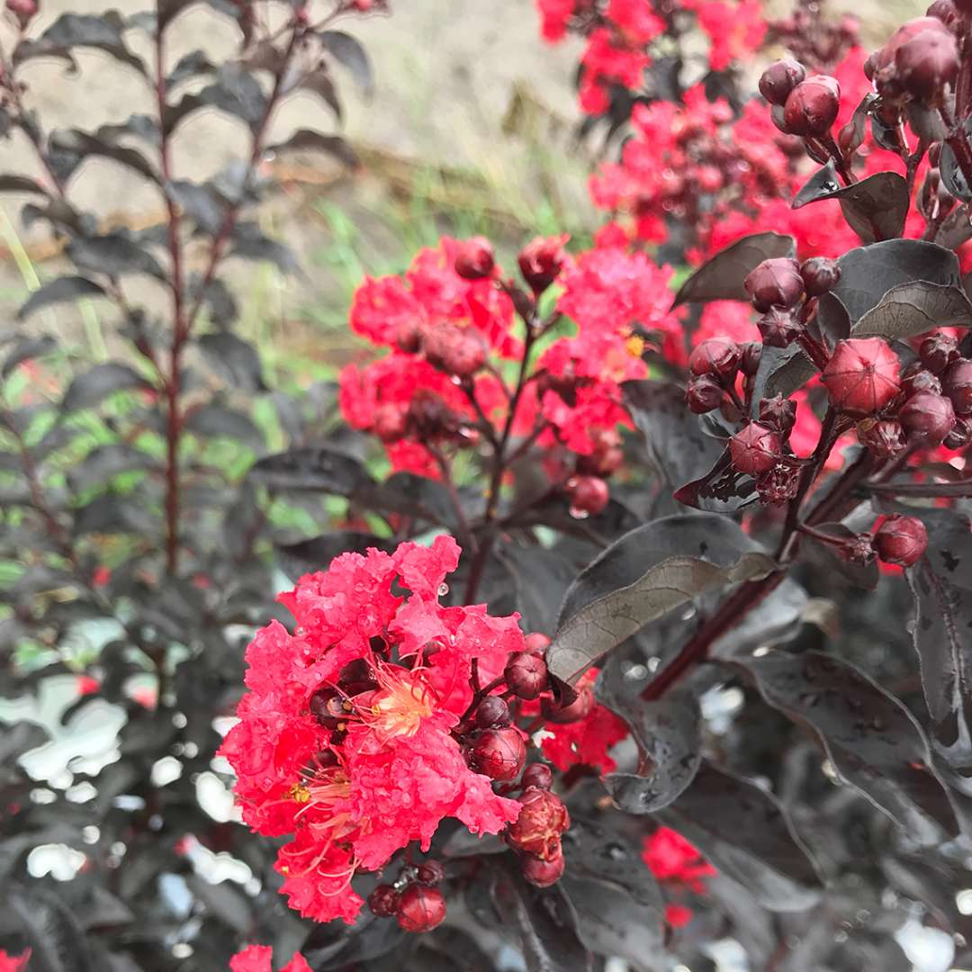 the cherry-red flowers of center stage crapemyrtle