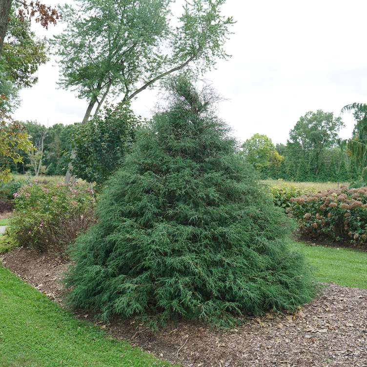 Haywire false cypress combines unique texture and a strong habit in the landscape.
