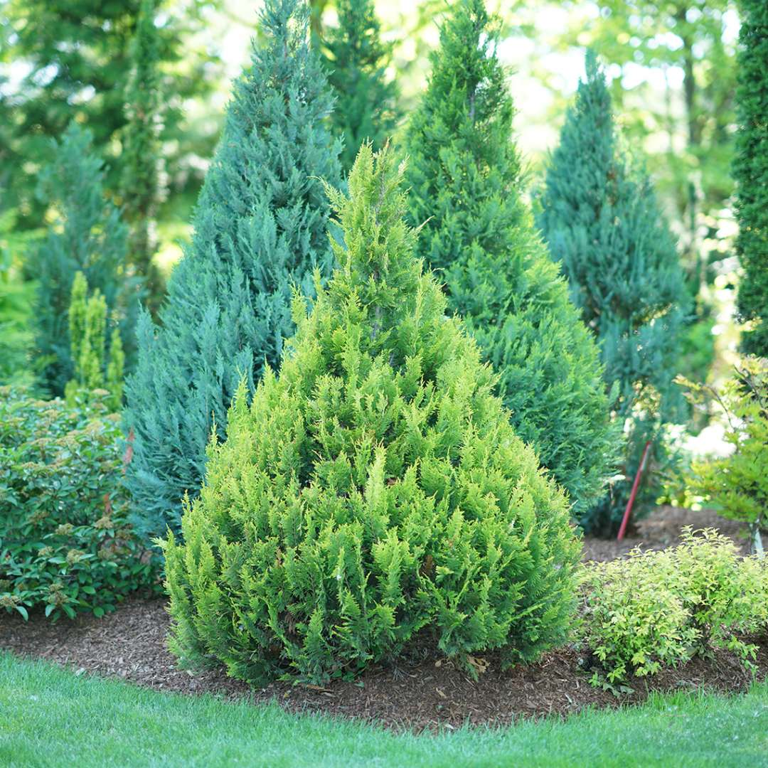 Pinpoint Gold false cypress combines bright evergreen foliage with a neat pyramidal habit