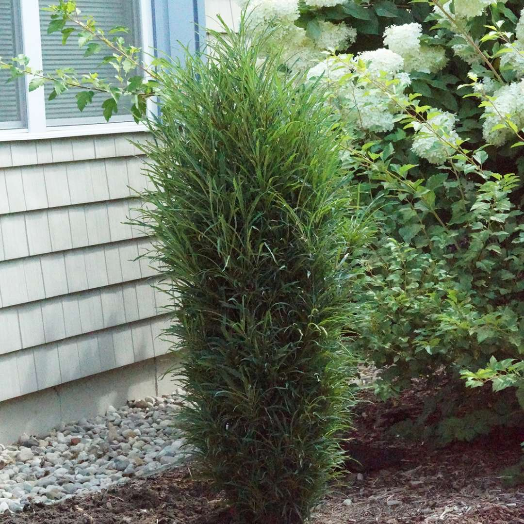 Fine Line improved rhamnus with a narrow columnar habit in front of a grey house