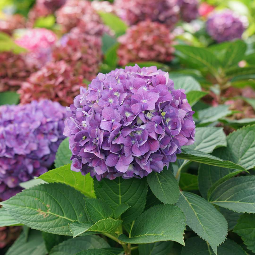 Close up of Let's Dance ¡Arriba! Hydrangea's purple blooms