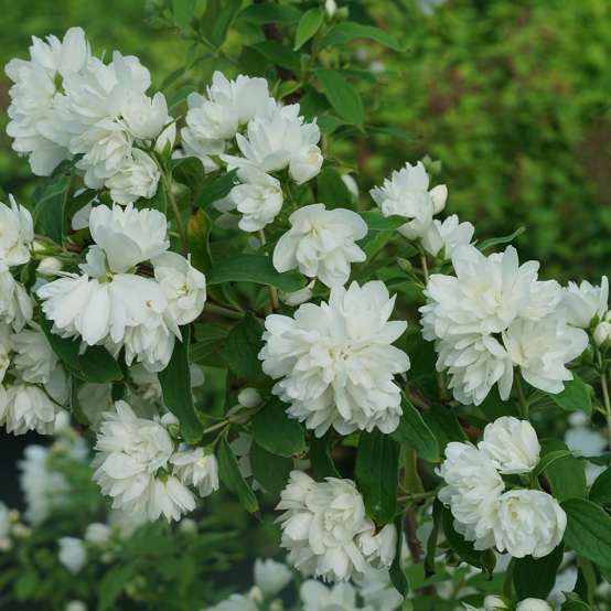 The pure white double flowers of Illuminati Arch mock orange