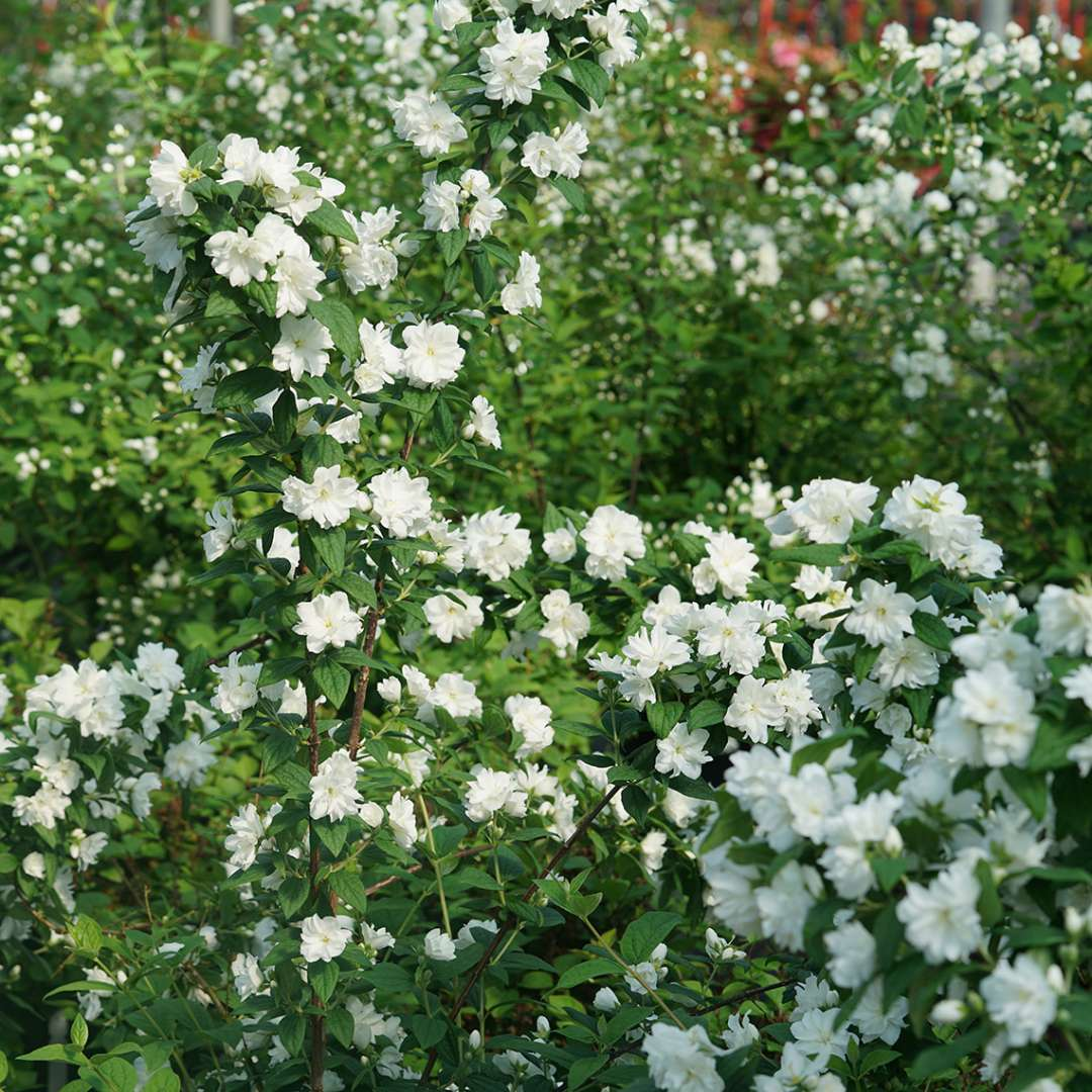 Spring blooming Illuminati arch mock orange with hundreds of white flowers