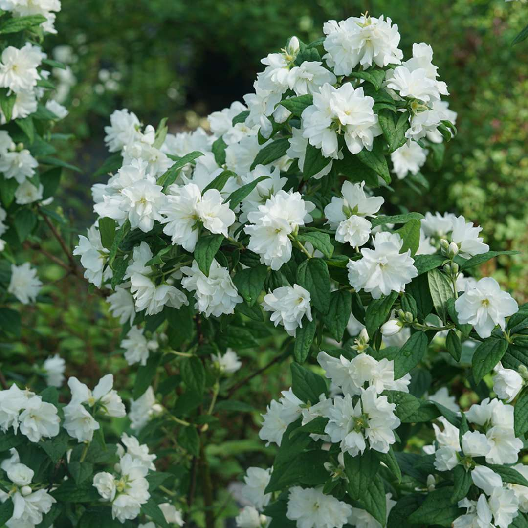 The green stems of Illuminati Arch mock orange covered with white flowers