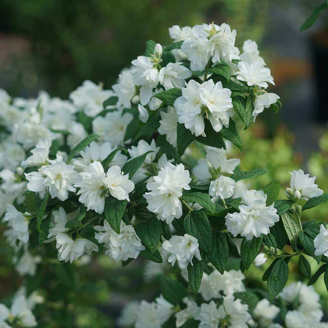 An arching branch of Illuminati Arch mock orange covered with white flowers