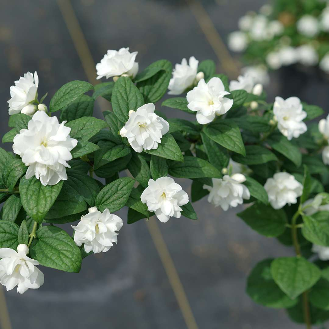 A closeup of a branch of Illuminati Arch mock orange showing its white flowers